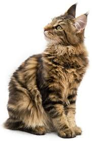 best cat breed