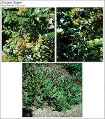 oregon grape plants