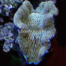 aquarium clams