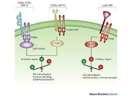 nk cell function