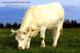 charolais beef
