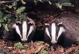 the badgers of Europe and
