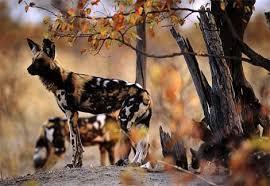 african wild dog photos