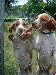 brittany hunting dog
