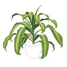 corn plant house plant