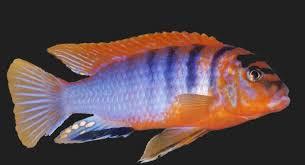 labidochromis sp hongi red top
