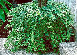 Combattere l'inquinamento domestico con le piante Hedera%20helix