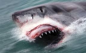 pictures of killer sharks
