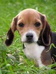 mini beagle breeders