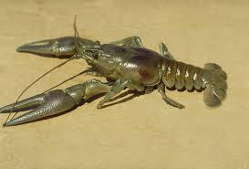 crayfish lures