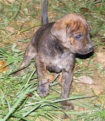mountain cur puppies