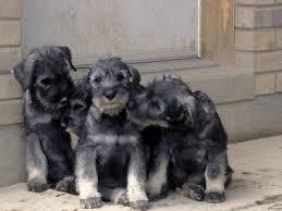 puppies schnauzers