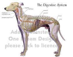 digestive system in dogs