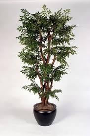 china doll tree