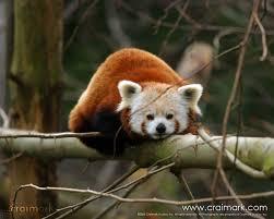 external image craimark.com-%25A9-2005--Red_Panda.jpg