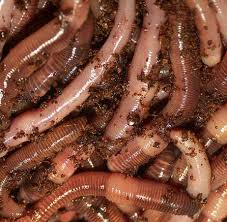 nightcrawler worms