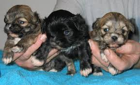 1 month old puppies
