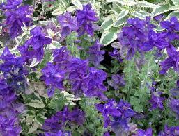 blue annuals