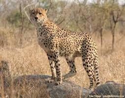 wallpaper cheetah