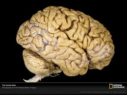 human brain photos