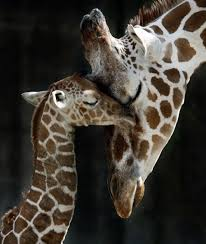 baby giraffe being born