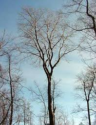 bigtooth aspen tree