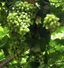 china grapes