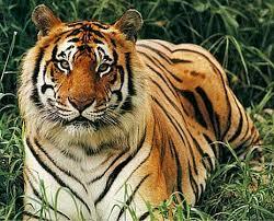 http://t0.gstatic.com/images?q=tbn:yK6s6aGArAlozM:http://www.nepalvista.com/photo-gallery/knowyournepal/tiger1.jpg&t=1