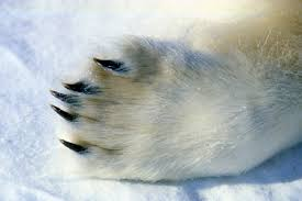 adaptations polar bear