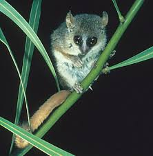 grey mouse lemurs