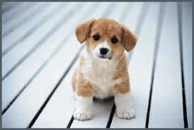 pictures of miniature dog breeds