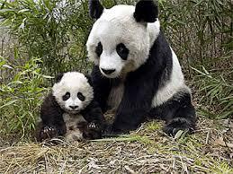 bears pandas