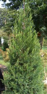 evergreen juniper