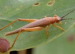 australian crickets