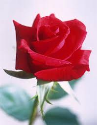 clases de rosas