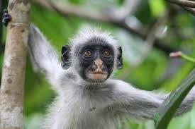 colobus monkey picture