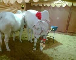 lasania cattle farm
