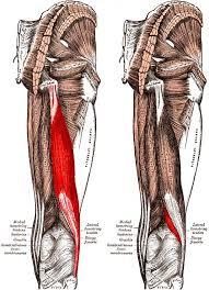 bicep ligament