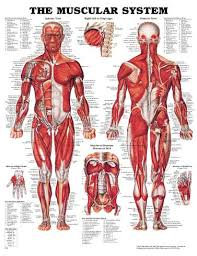 muscular body pictures