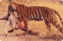 hunting tigers