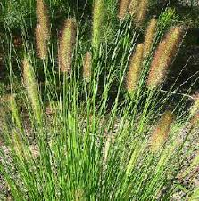 foxtail flowers