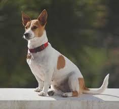 jack russells terrier