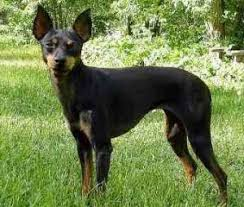 english toy terrier breeders