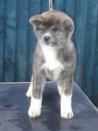 japanese akita inu puppies