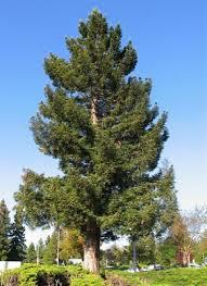 arboles pinos