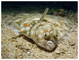flounder images