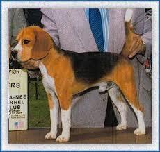large beagle
