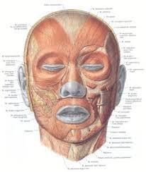 human skull muscles