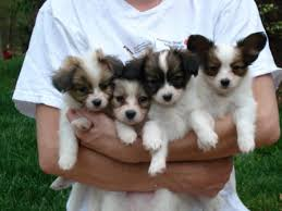 puppies papillon