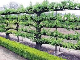 espalier trees